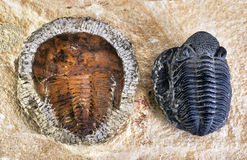 Cambrian Period Trilobites. Stock Photography