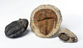 Cambrian Period Trilobites. Stock Photo