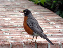 Cambridge Maryland American Robin 2016 Stock Photo