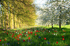 Cambridge Tulips and Cherry Trees Royalty Free Stock Photography