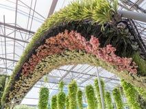 Cambrure fraîche d'orchidée avec le phalaenopsis de deux tons photo stock