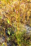 Camcheya Tenuifolia Kerr трава нерезкости flowe сухая Стоковые Фото