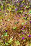 Camcheya Tenuifolia Kerr. flowe amd small  lea. Camcheya Tenuifolia Kerr. ASTERACEAE flowe amd small  leaf at Mukdahan Nation Park, Thailand Royalty Free Stock Images