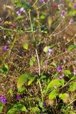 Camcheya Tenuifolia Kerr. flowe blooming. Camcheya Tenuifolia Kerr. ASTERACEAE flowe blooming at Mukdahan Nation Park, Thailand Stock Image