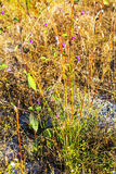 Camcheya Tenuifolia Kerr.flowe blur dry grass. Camcheya Tenuifolia Kerr. ASTERACEAE flowe blur with dry grass at Mukdahan Nation Park, Thailand Stock Photos