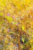 Camcheya Tenuifolia Kerr. flowe blur yellow. Camcheya Tenuifolia Kerr. ASTERACEAE flowe blur yellow background at Mukdahan Nation Park, Thailand Royalty Free Stock Images