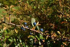 Blackthorn is already ripe for its appearance birds. Came a beautiful colorful autumn yellow-red colors of leaves somewhere in the distance green, rest, walk royalty free stock photography