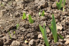 Tulip sprouts in the spring in the dry land. royalty free stock photo