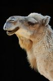 Camel. On black Stock Image