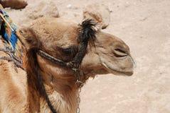 Camel. Royalty Free Stock Photo