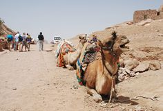 Camel. Stock Photos