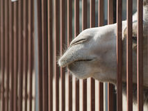 Camel. The camel in a zoo looks out of a lattice to eat Stock Photography