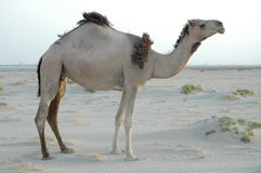 Camel. In Desrt Royalty Free Stock Photos
