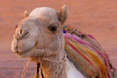 Camel. Dromedary camel (Camelus dromedarius) in the desert Royalty Free Stock Photo