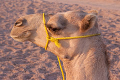 Free Camel Royalty Free Stock Photos - 11391278