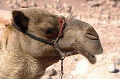 Camel. Symbol of africa and the middle east ,transport, travel and adventure the camel Royalty Free Stock Photo