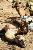 Camel Royalty Free Stock Photos