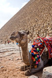 Camel. In front of the pyramid, Cairo, Egypt Stock Photo
