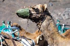 Camel. Photo of a Camel head Stock Photo
