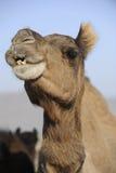 Camel. A portrait of a camel Stock Image