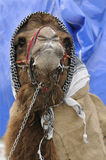 Camel. Beautiful camel Royalty Free Stock Photography