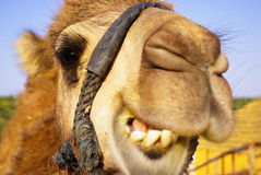 Free Camel Royalty Free Stock Image - 12300306