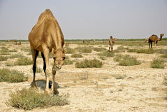 Camel. Are feeding in sweda plants Royalty Free Stock Images