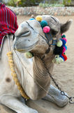 Camel. A camel sitting on its knees Stock Images