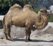 Camel Royalty Free Stock Photo