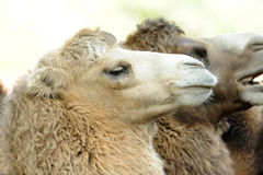 Camel. Portrait of the camel. In the background another camel head Royalty Free Stock Photos
