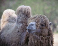 Camel. Closeup view of one camel stock images