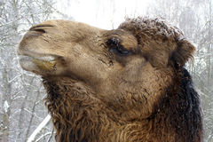 Camel. It's a camel in winter Royalty Free Stock Photos