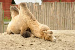Camel. Laying on the sand Stock Photo