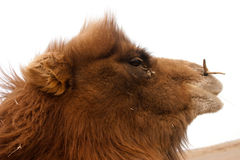 Camel. Closeup of a young bactrian camel in Gobi desert Mongolia Stock Photos