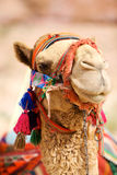 Camel. Portrait of camel in Petra (Al Khazneh), Jordan Stock Photography