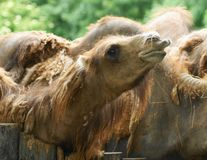 Camel 14 Stock Photography