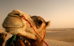 Camel Stock Photography
