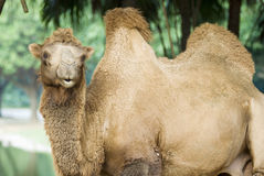 A camel Stock Photo