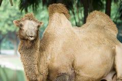 A camel. On garden, face to lens stock photo