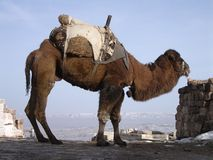 Camel. Istanbul and landscape kinds of turkish republic Royalty Free Stock Images