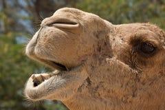 Camel. In the desert of Bahrain Stock Photo