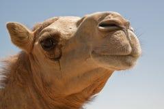 Camel. In the desert of Bahrain Stock Image