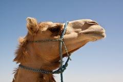 Camel. In the desert of Bahrain Royalty Free Stock Photos