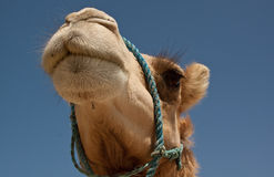 Camel. In the desert of Bahrain Stock Photos