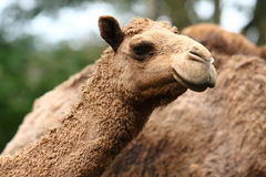 Camel. A camel is an even-toed ungulate within the genus Camelus, bearing distinctive fatty deposits known as humps on its back. There are two species of camels Stock Images