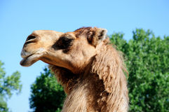 The camel. A camel raises his head high up to the sky on a sunny day Stock Photos