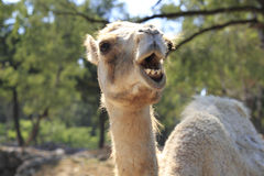 Free Camel Royalty Free Stock Photos - 15500888