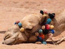 Camel. On beach in Egypt Royalty Free Stock Photos