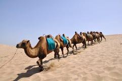 Camel. In desert, ningxia shahu lake ,china Stock Photos