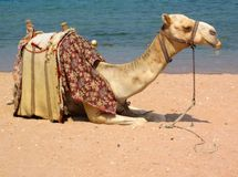Camel. On the beach in egypt Royalty Free Stock Images